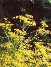Plante médicinale de Fenouil doux (racine), Foeniculum dulce