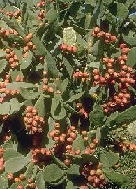 GÉLULES de Nopal (250 mg), Opuntia ficus-indica