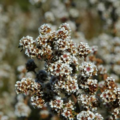 HUILE ESSENTIELLE de Fragonia (Agonis fragrans)