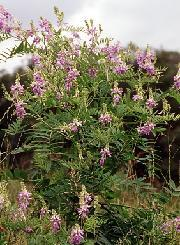 Poudre de Plante médicinale de Galega (plante), Galega officinalis