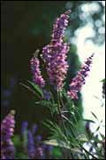 Plante médicinale de Gattilier (semence), Vitex agnus castus
