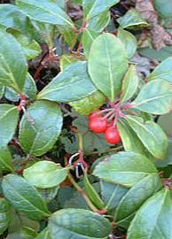 HUILE ESSENTIELLE de Gaulthérie (Gaultheria procumbens)