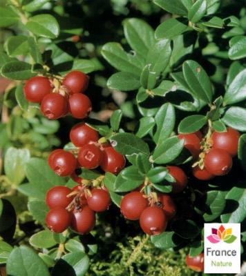 GÉLULES d 'Airelle (baie) 280 mg, (Vaccinium vitis-idaea)