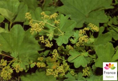 GÉLULES d'Alchémille vulgaire 200 mg, (Alchemilla vulgaris)