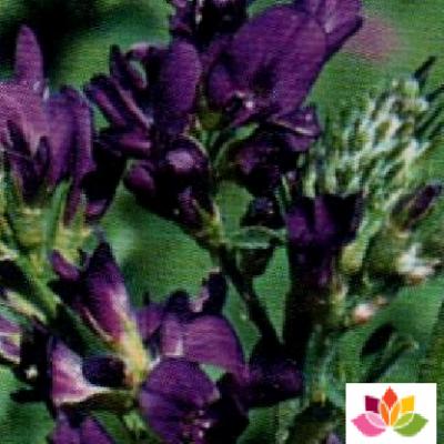 GÉLULES d'Alfalfa 190 mg, (Medicago sativa)