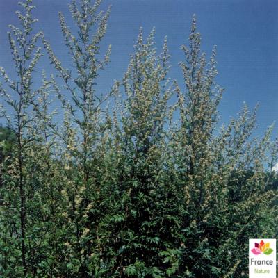 GÉLULES d'Armoise 200 mg, (Artemisia vulgaris)