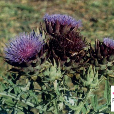 GÉLULES d'Artichaut 200 mg, (Cynara scolymus)