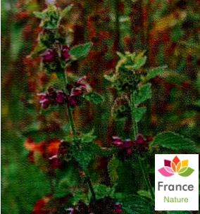 GÉLULES de Ballote (200 mg), Ballota nigra