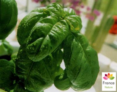GÉLULES de Basilic 200 mg, (Ocimum basilicum)