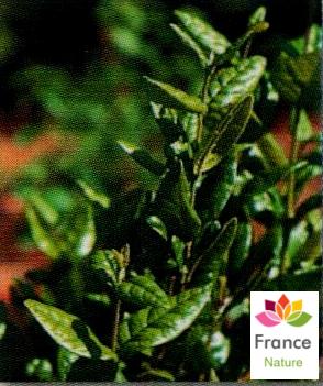 GÉLULES de Boldo 200 mg, (Pneumus boldus)