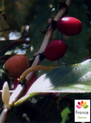 GÉLULES de Café vert 200 mg, (Coffea arabica ou robusta)