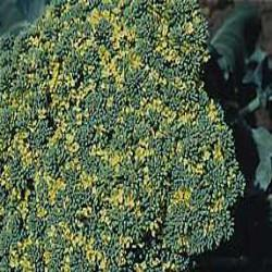 HUILE ESSENTIELLE de Girofle clou (Caryophyllus aromaticus)