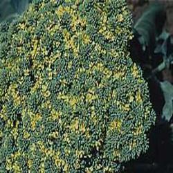 HUILE ESSENTIELLE de Girofle feuille (Caryophyllus aromaticus)