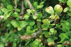 GELULES de Guggul (370 mg), Commiphora mukul