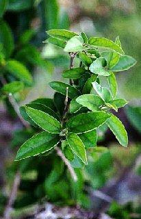 GELULES de Gymnema (250 mg), Gymnema sylvestre