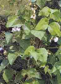 Plante médicinale de Haricot (cosse), Phaseolus vulgaris