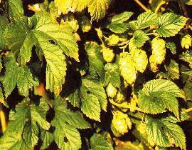 Plante médicinale de Houblon (cône), Humulus lupulus