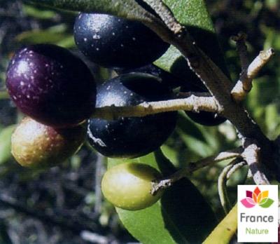 HUILE VÉGÉTALE de D'olive (Olea europaea) BIO