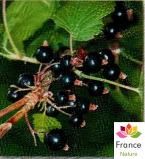 Huile vegetale de cassis france nature