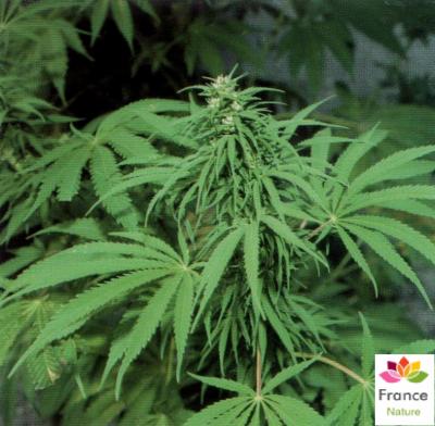 HUILE VÉGÉTALE de Chanvre raffiné (Cannabis sativa)