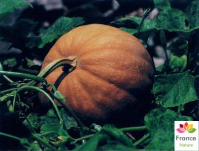 HUILE VÉGÉTALE de Graine de citrouille (Cucurbita pepo)