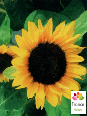 HUILE HYDROSOLUBLE de Tournesol (Helianthus annuus)