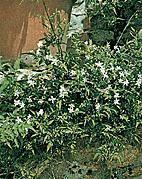 Plante médicinale de Jasmin (fleur), Jasminum officinale