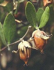 HUILE HYDROSOLUBLE de Jojoba (Simmondsia chinensis)