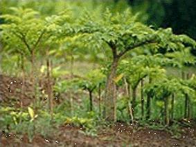 Poudre de Plante médicinale de Konjak, Amorphophallus konjac