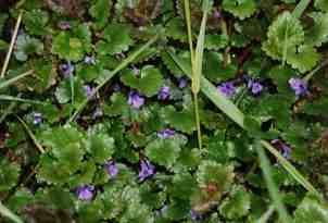 Plante médicinale de Lierre terrestre (feuille), Glechoma hederacea