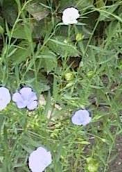 Poudre de Plante médicinale de Lin (semence), Linum usitatissimum