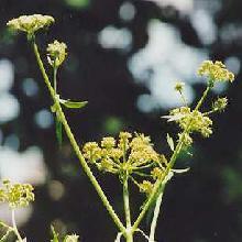 Plante médicinale de Livêche (racine), Levisticum officinale