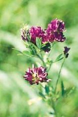 Poudre de Plante médicinale de Luzerne (plante), Medicago sativa