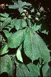 Plante médicinale de Marronier d'inde (fruit), Aesculus hippocastanum