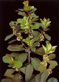 Plante médicinale de Maté vert (feuille), Ilex paraguariensis