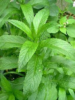 Poudre de Plante médicinale Menthe douce nana, Mentha haplocalyx