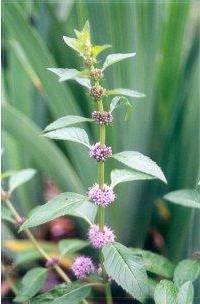 Plante médicinale de Menthe nahnah (feuille),Mentha haplocalyx BIO