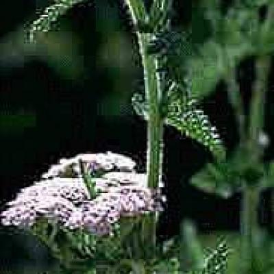 Poudre de Plante médicinale d'Achillée millefeuille (fleur), Achillea millefolium