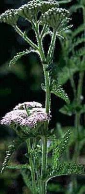 Poudre de Plante médicinale d'Achillée millefeuille (plante), Achillea millefolium