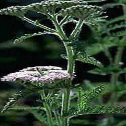 Poudre de Plante médicinale d'Achillée millefeuille (fleur) BIO
