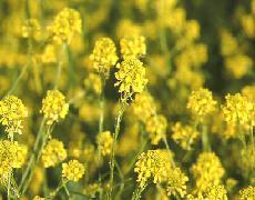 Plante médicinale de Moutarde noire (semence), Brassica nigra BIO