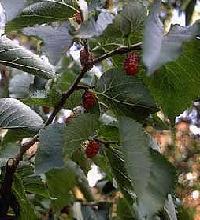 Poudre de Plante médicinale Murier (feuille), Morus nigra