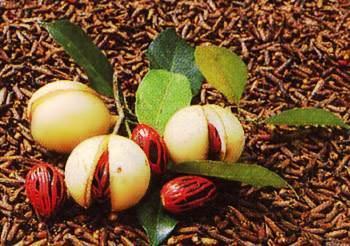 HUILE ESSENTIELLE de Muscade (Myristica fragans)