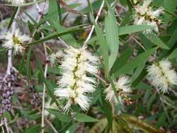 HUILE ESSENTIELLE de Niaouli (Melaleuca viridiflora)