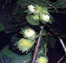 Poudre de Plante médicinale de Noisetier (feuille), Corylus avellana