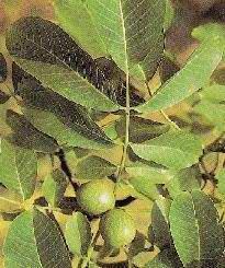 GÉLULES de Noyer (250 mg), Juglans regia