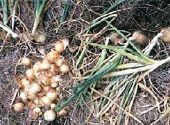 Plante médicinale d 'Oignon (bulbe), Allium cepa BIO