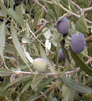 Plante médicinale d'Olivier (feuille), Olea europaea