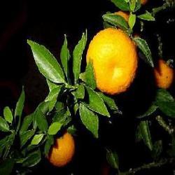 HUILE ESSENTIELLE d'Orange amère (Citrus aurantium)