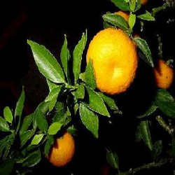 Oranger 8
